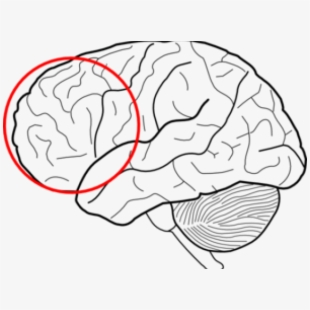 Simple Diagram Of The Brain Clipart Best - Lobes Of The ...